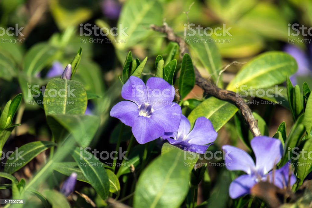 Spring blue flower periwinkle (Vinca minor) stock photo