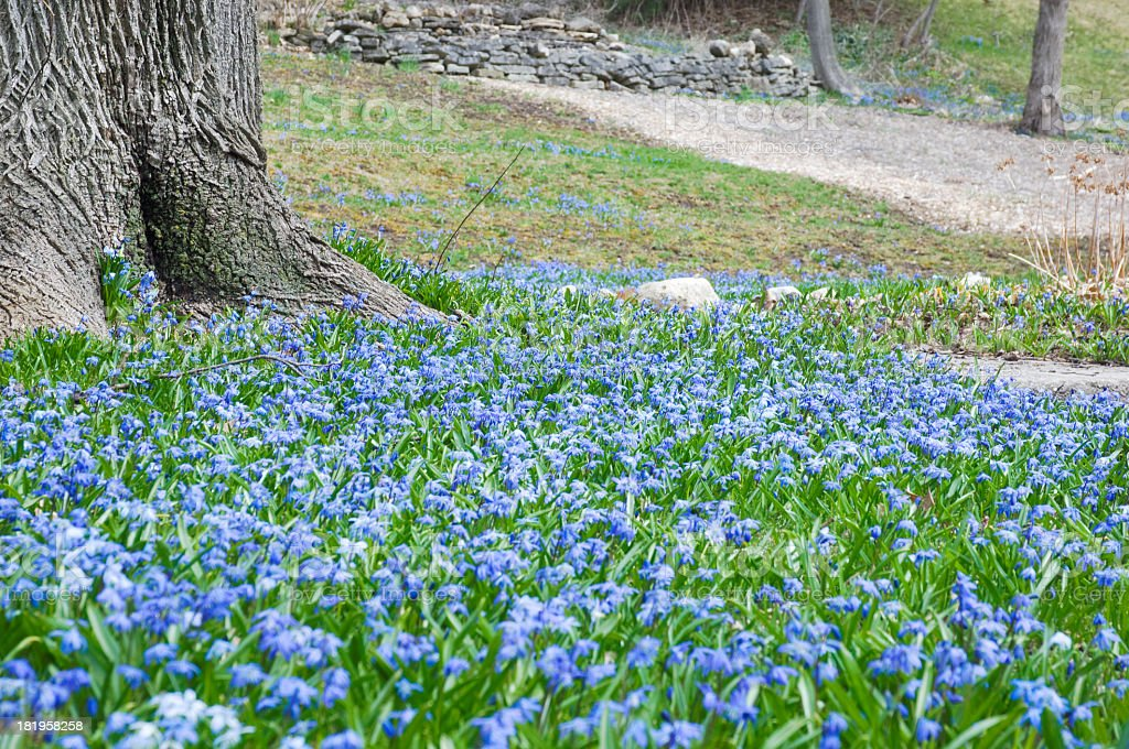 Spring Blue Scilla Siberica Flowers royalty-free stock photo