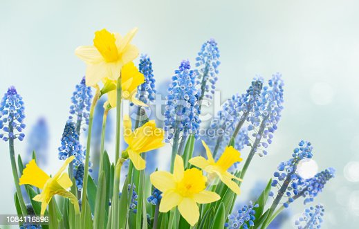 639245704 istock photo Spring bluebells and daffodils 1084116896