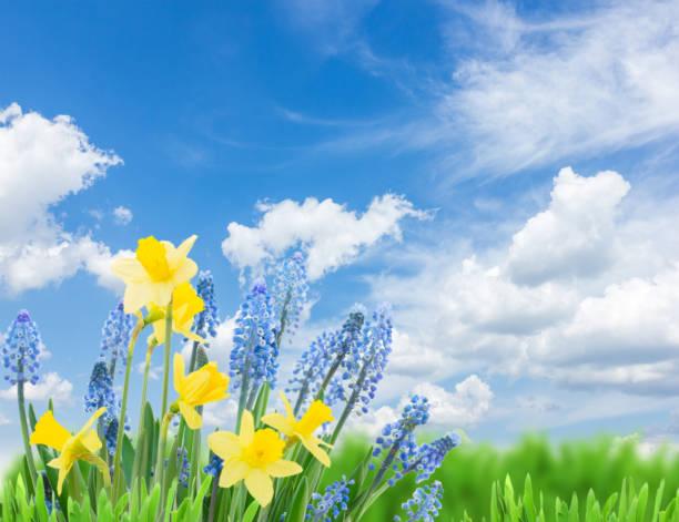 jonquilles et jacinthes des bois printemps - paysage mois de mars photos et images de collection