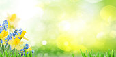Spring bluebells and daffodils in green garden banner with copy space