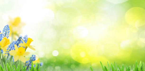Spring bluebells and daffodils picture id914641650?b=1&k=6&m=914641650&s=612x612&w=0&h=wl2cg3kjscuadkzejdudqrtyaarhxtehlny7lx8ca9o=