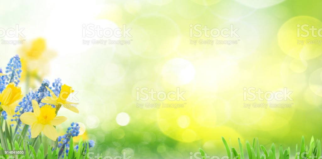 Spring bluebells and daffodils stock photo