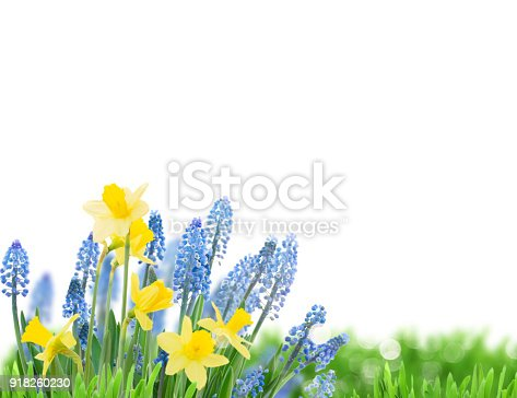 639245704 istock photo Spring bluebells and daffodils 918260230
