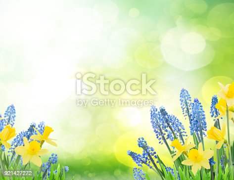 639245704 istock photo Spring bluebells and daffodils 921427272