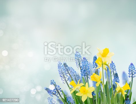639245704 istock photo Spring bluebells and daffodils 921427290