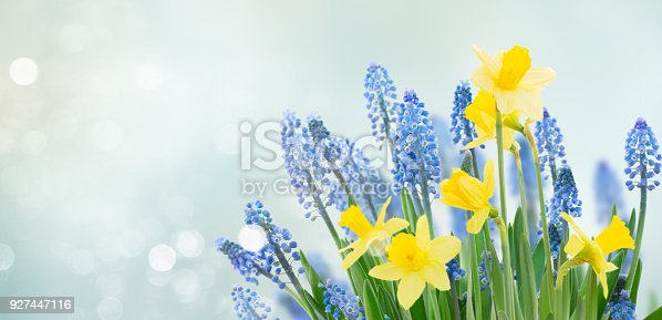 639245704 istock photo Spring bluebells and daffodils 927447116