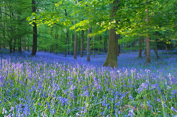 Spring bluebells.  bluebell stock pictures, royalty-free photos & images