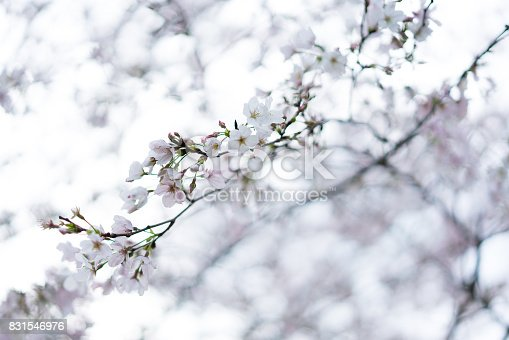 909680446 istock photo Spring border abstract blured background art with pink sakura or cherry blossom. Beautiful nature scene with blooming tree and sun flare. Easter Sunny day. Springtime. 831546976