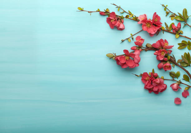 Spring border background with branches of Japanese quince, top view. stock photo