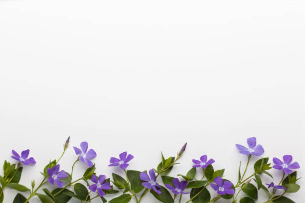 Spring border background with purple vinca major flowers, top view. stock photo