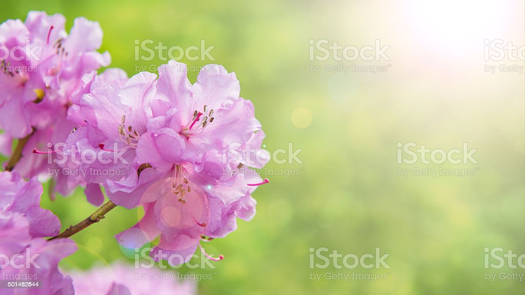 Spring border background with rhododendron flowers, image with sun flare stock photo