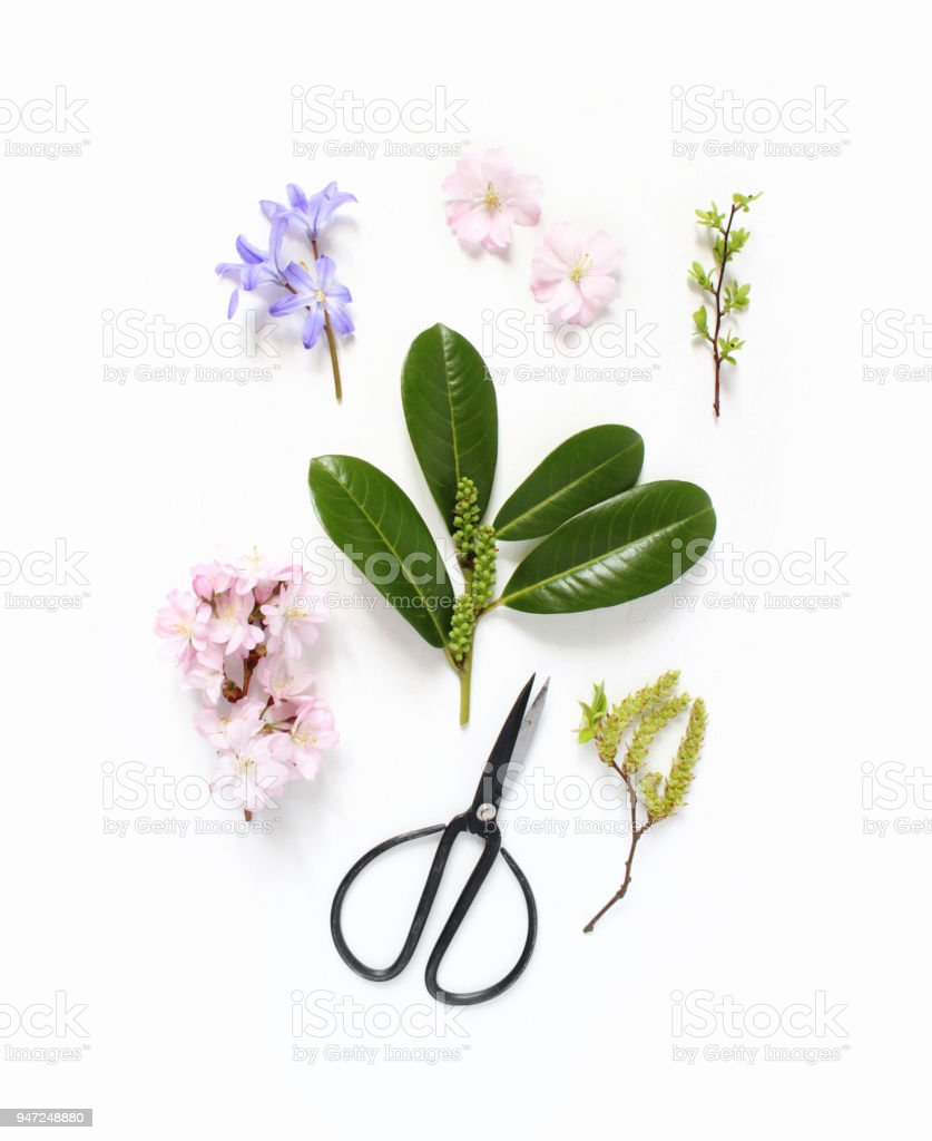 Spring botanical floral composition. Pink Japanese cherry blossoms, blue scilla flowers and evergreen English laurel branch with black vintage scissors on white wooden background. Styled stock photo. Flat lay, top view. stock photo
