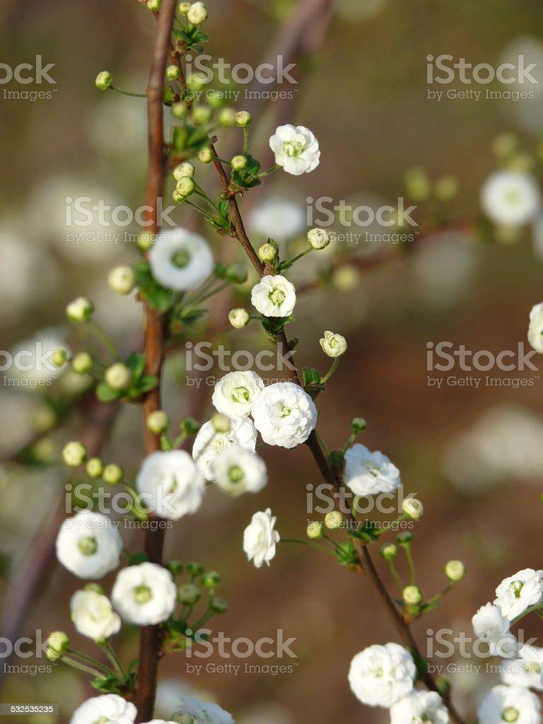 Spring Botanical Tiny White Flowers of Bridal Wreath Spirea stock photo