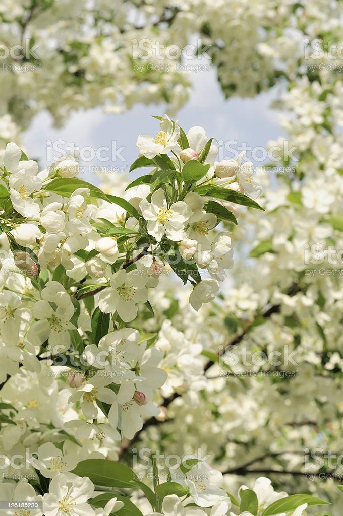 Spring Bradford Pear Tree Blossoms stock photo