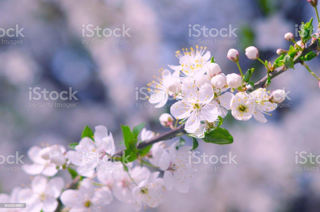 Branche De Printemps Dun Arbre A Floraison Blanc Petites Fleurs Sur