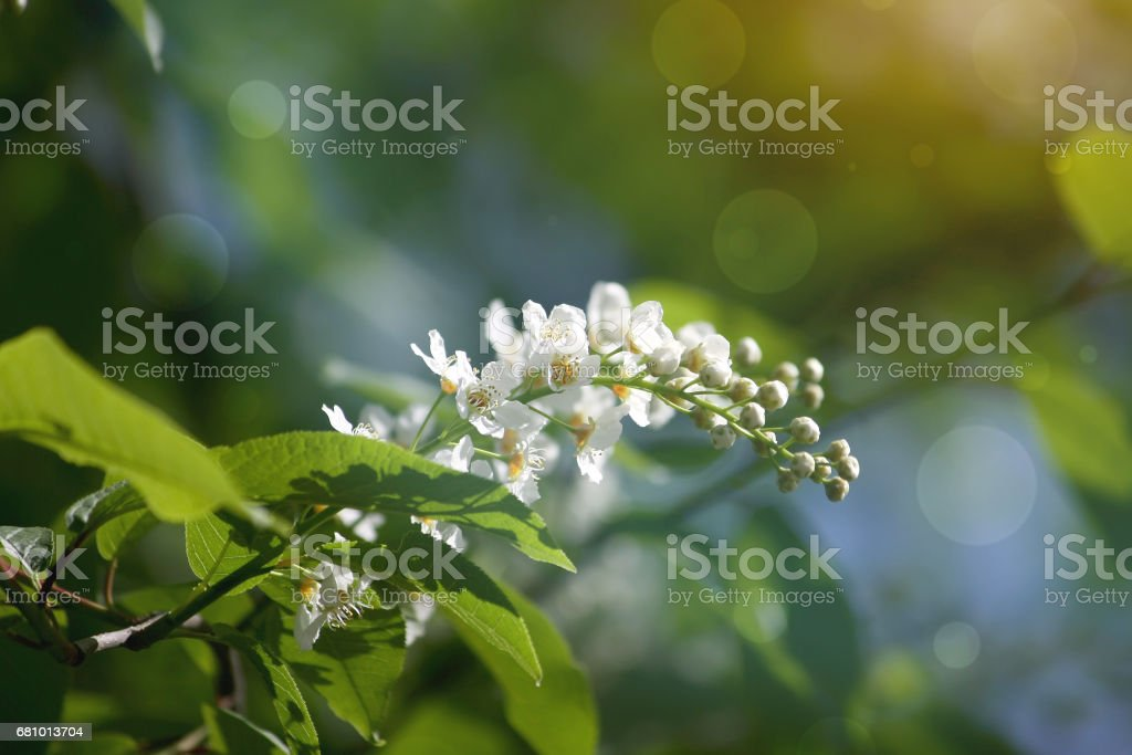 Spring branch of bird cherry blossoms in park royalty-free stock photo