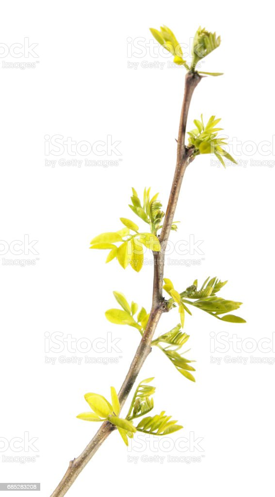 Spring branch of black locust (Robinia pseudoacacia) with young leaves isolated on white background stock photo