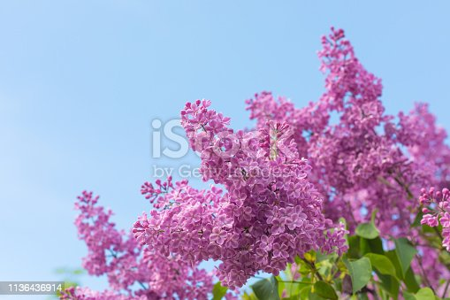 Spring branch of blossoming lilac, postcard concept, toned