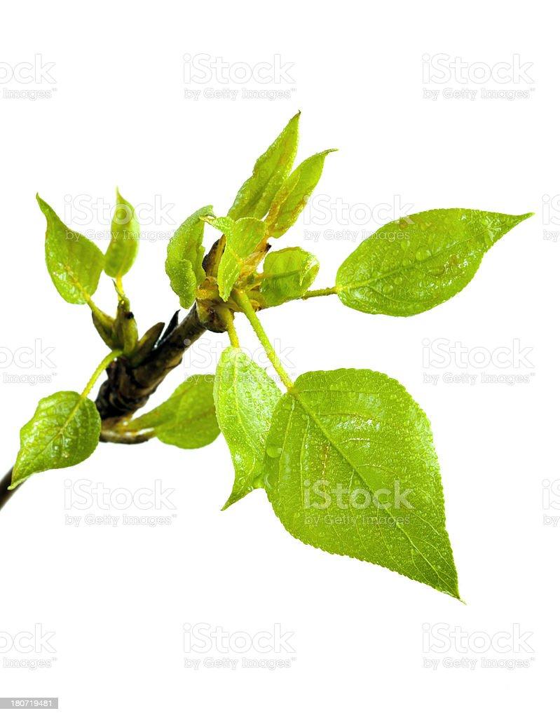 Spring branch of poplar. royalty-free stock photo