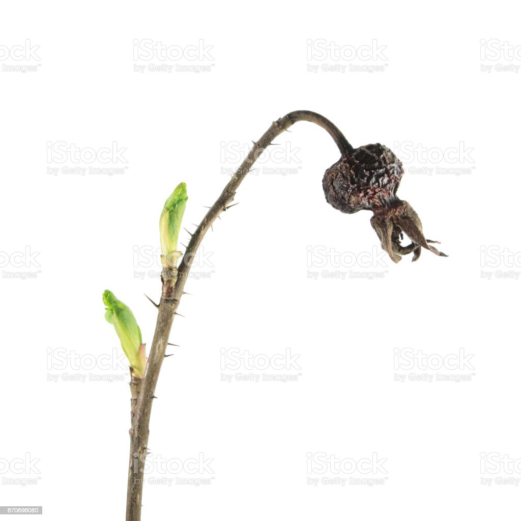 Spring branch of rose with dry hips and fresh green buds isolated on white background. Spring awakening of plant stock photo