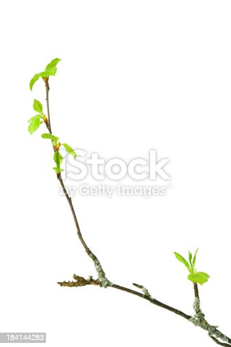Birch tree (Betula pendula) branch with budding leaves isolated on white background.