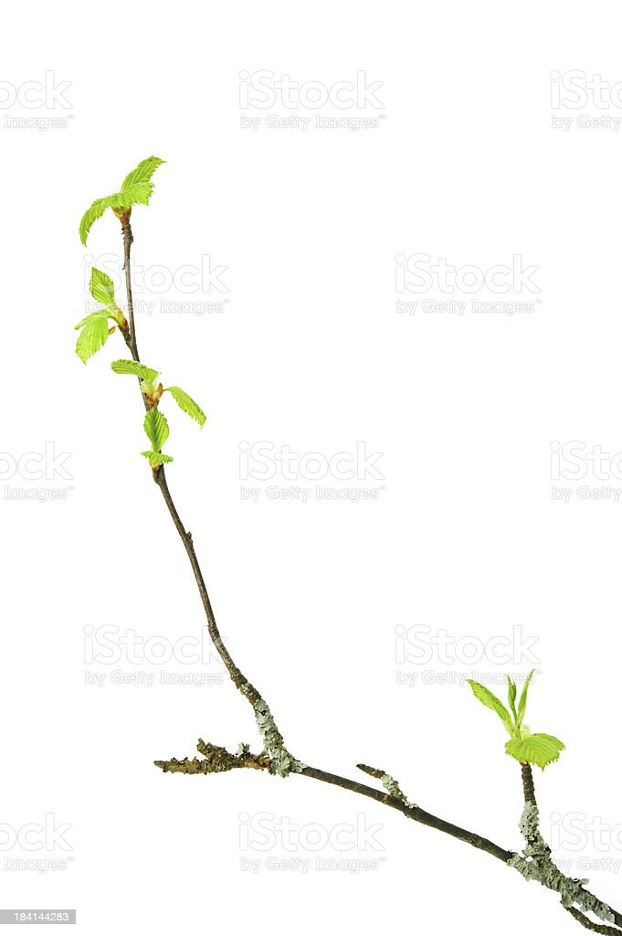 Spring branch with budding leaves stock photo