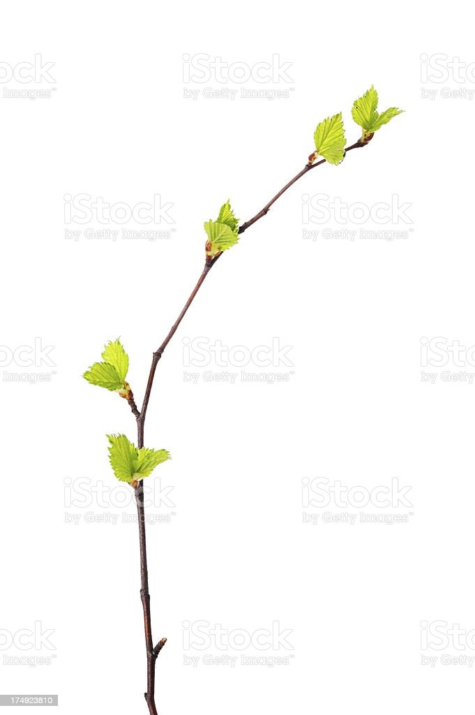 Spring branch with young leaves stock photo