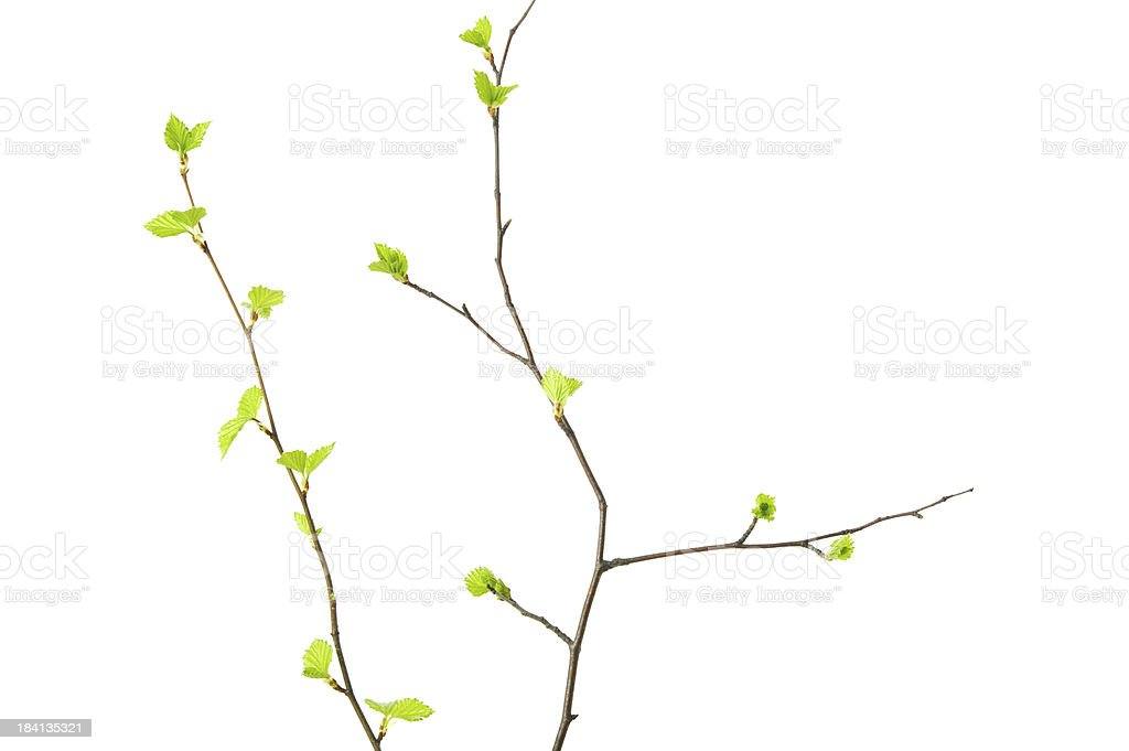 Spring branches with young leaves royalty-free stock photo