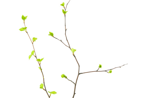Birch tree (Betula pendula) branches with young leaves isolated on white background.