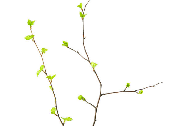 Spring branches with young leaves stock photo