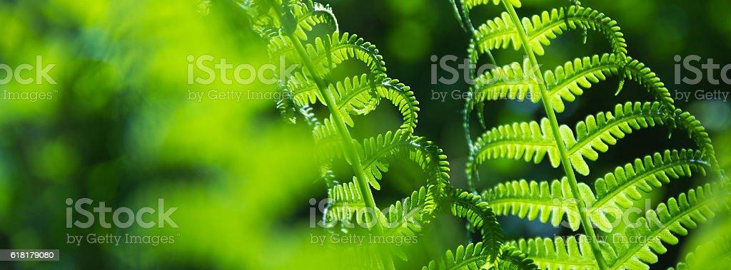 Spring bright green fern stock photo