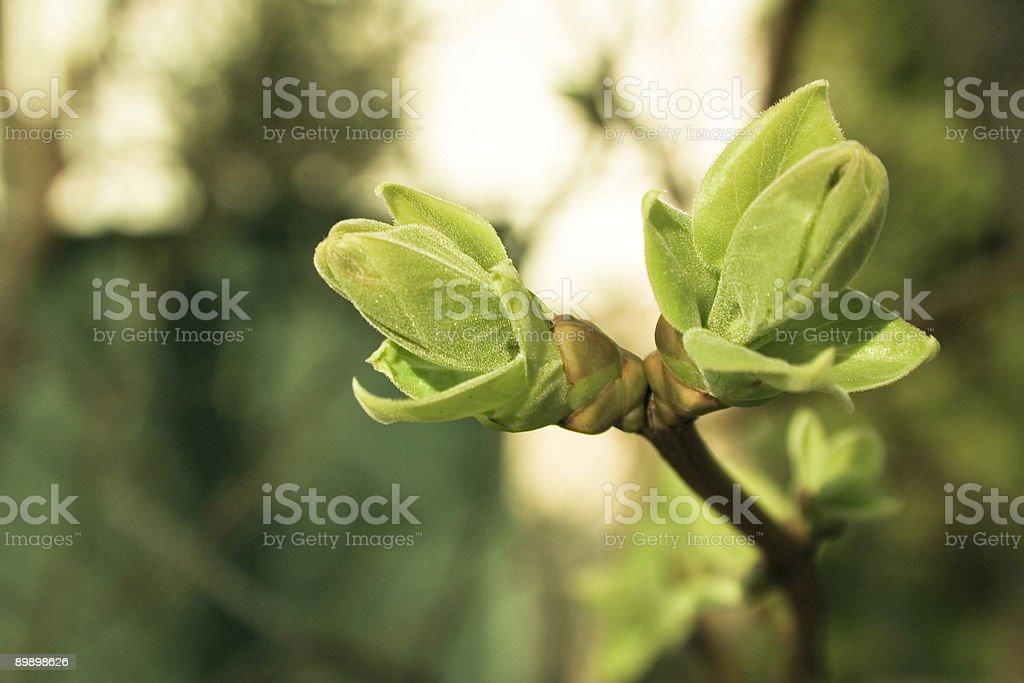 Spring Bud Lizenzfreies stock-foto