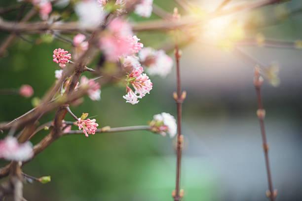 Spring buds in morning light stock photo