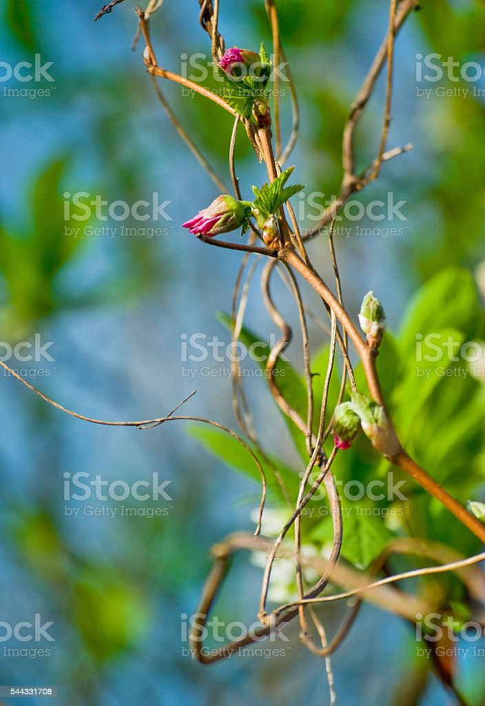Spring buds in Vancouver, British Columbia stock photo