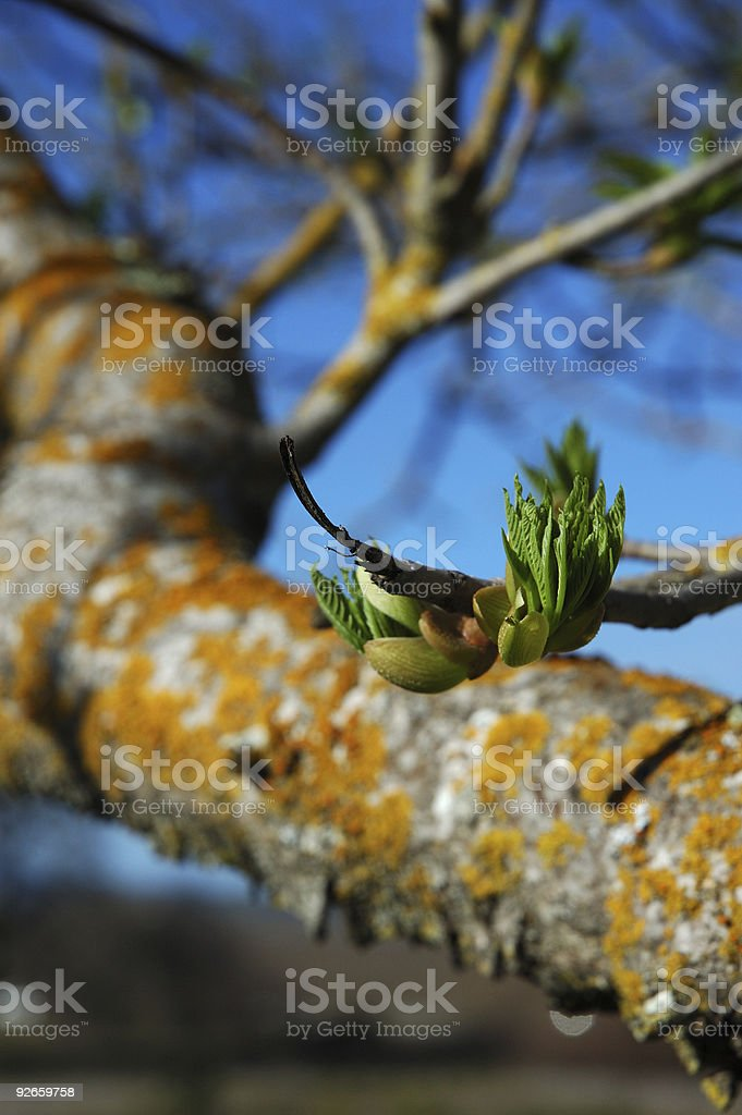 Spring buds on tree royalty-free stock photo