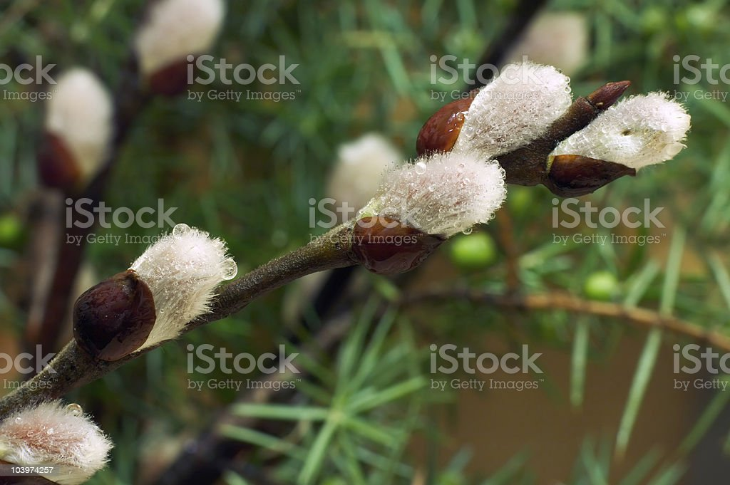 Spring buds royalty-free stock photo