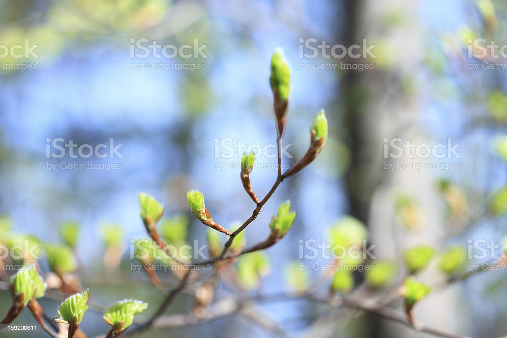 Spring Buds stock photo