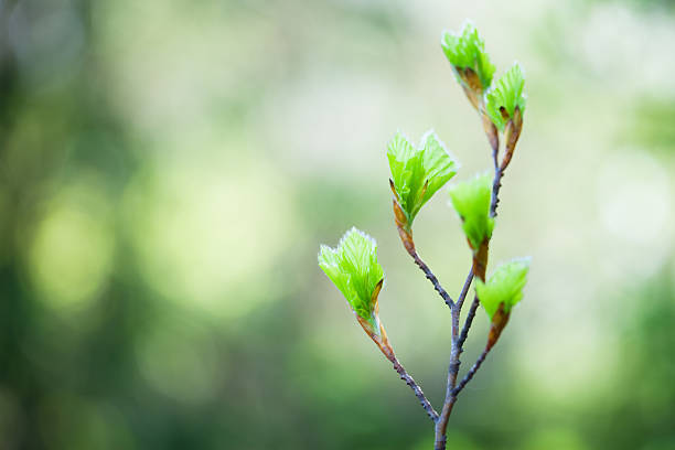 Bourgeons de printemps - Photo
