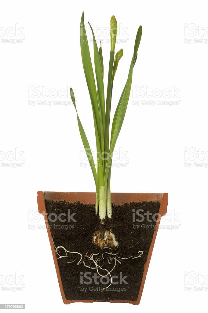 Spring bulb cross section royalty-free stock photo