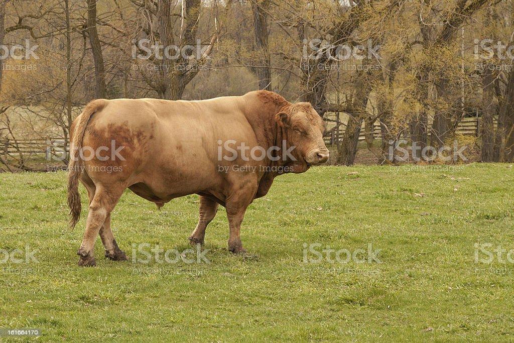 Spring Bull royalty-free stock photo