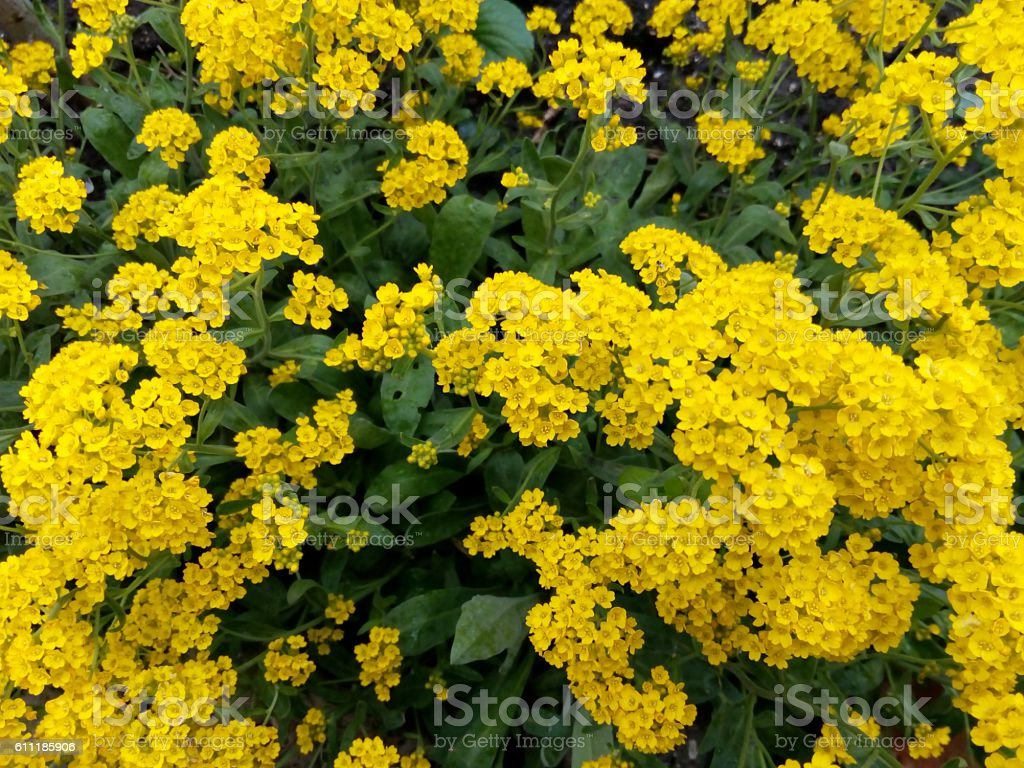 Spring bush studded with small yellow flowers stock photo more spring bush studded with small yellow flowers royalty free stock photo mightylinksfo Images