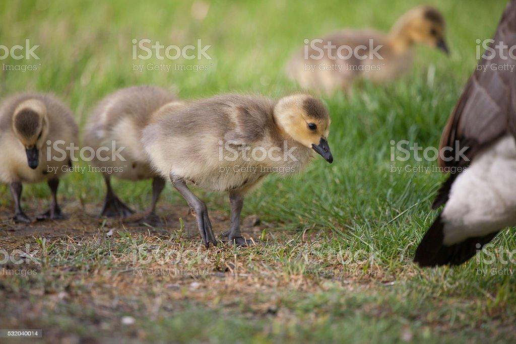 Spring Canada Goose Goslings stock photo