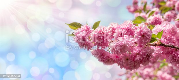 909680446 istock photo Spring Cherry Blossom And Sunlight In The Sky 1217957704