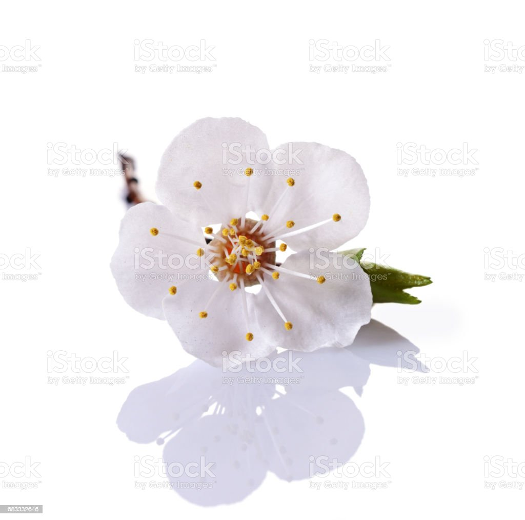 Spring cherry blossom branch with single white flower royalty-free stock photo