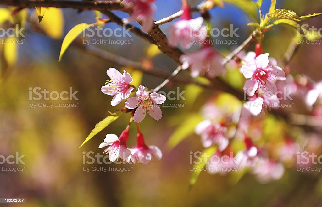 Spring Cherry Blossom Flowers royalty-free stock photo
