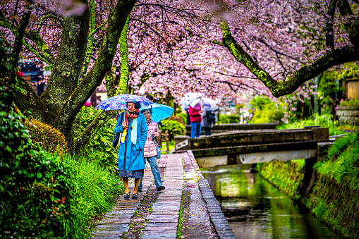 Spring cherry blossom in spring and people walking in famous Philosopher's walk garden park by river bridge with rain umbrellas
