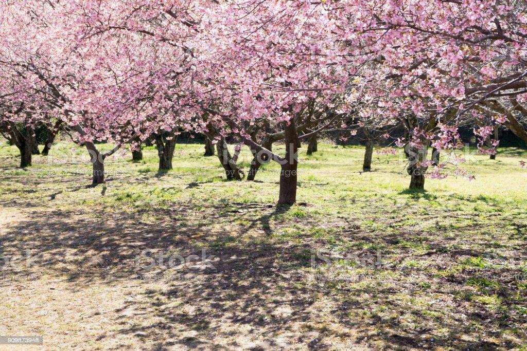 Spring cherry blossom trees stock photo