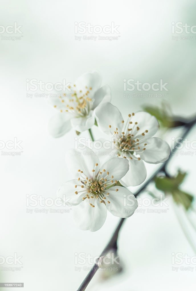 Spring cherry blossom with soft background royalty-free stock photo