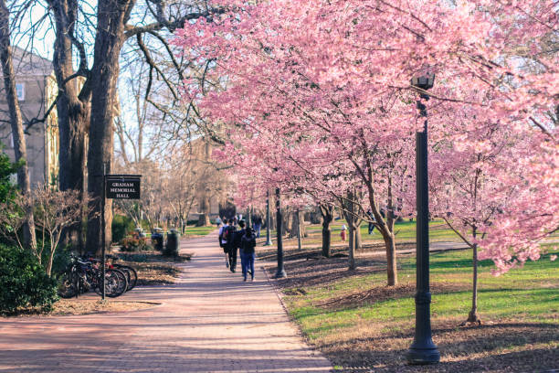 Spring Cherry Blossoms at UNC-Chapel Hill stock photo